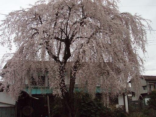しだれ桜満開.jpg