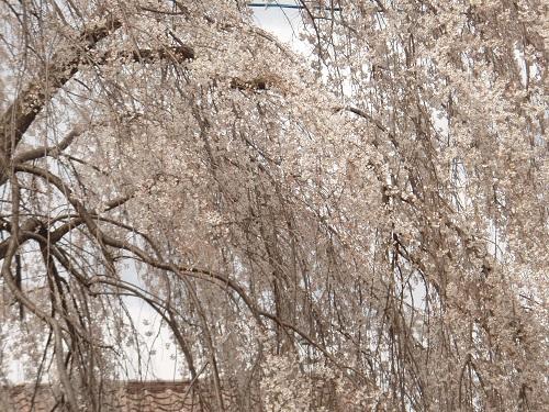 しだれ桜8.jpg