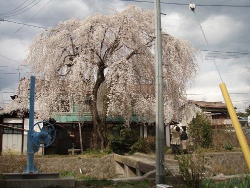 しだれ桜9.jpg