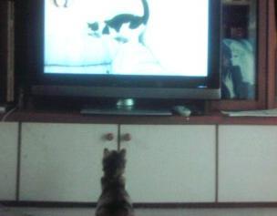 テレビを見るきなこちゃん.jpg