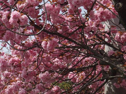 八重桜.jpg