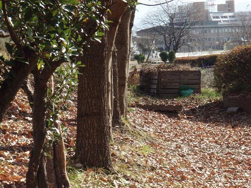 栗の木.jpg