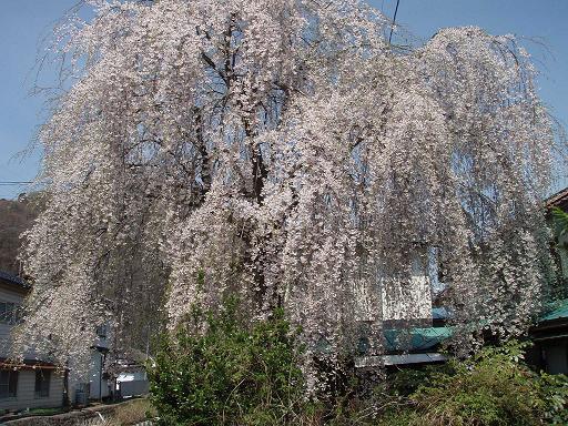 2しだれ桜.jpg